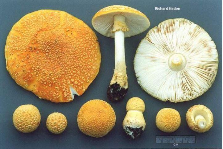 yellow amanita.jpg