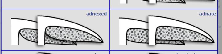adnexed adnate.PNG