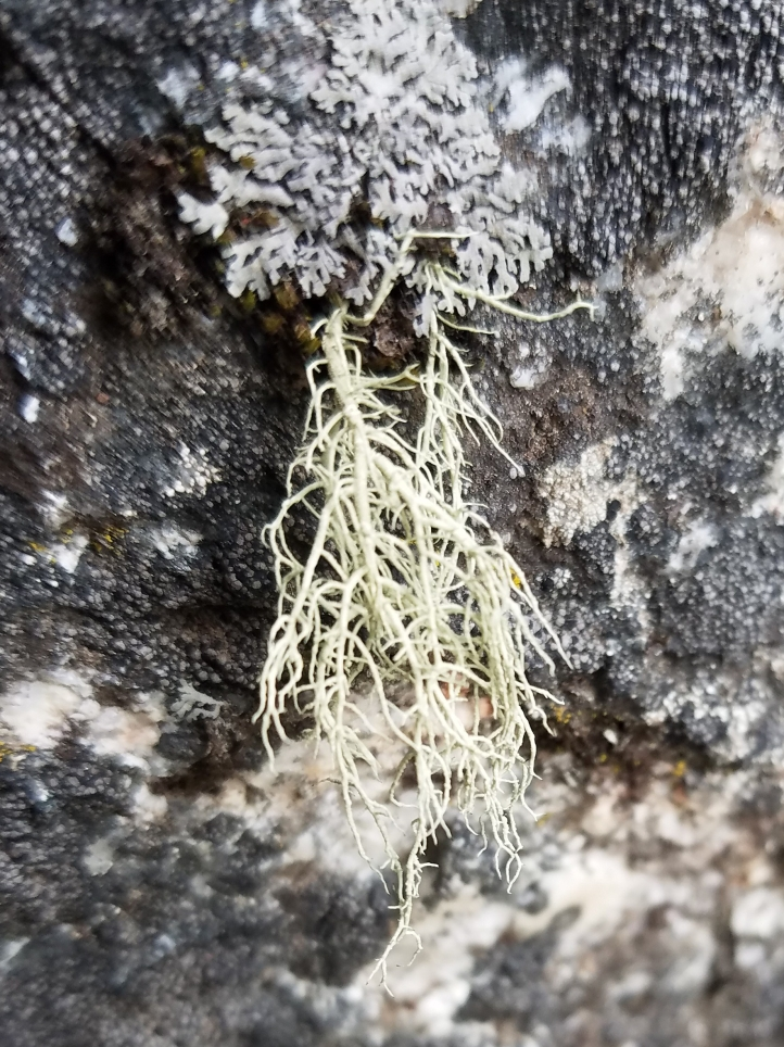 Highly branched fruticose lichen